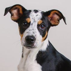 Border-Aussie dog for Adoption in Eden Prairie, MN. ADN-636681 on PuppyFinder.com Gender: Female. Age: Baby