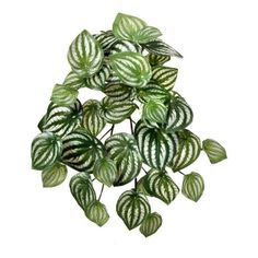 Peperomia plant, 13'' Silk Plants, Faux Plants, Vine Leaves, Plant Leaves, Peperomia Plant, Perennial Plant, Real Plants, Snake Plant, Cacti And Succulents