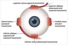 Chris Knobbe explains how strabismus surgery corrects eye muscle function to help re-align misaligned eyes. Eyes Care, Muscle Function, Nov 2, Muscles, Surgery, Anatomy, Conditioner, Study, Life