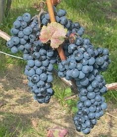 Washington wine - Wikipedia, the free encyclopedia Red Grapes, Growing Grapes, Coffee Latte, Cabernet Sauvignon, Pinot Noir, Washington State, Whisky, International Friends, Hungary