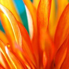 DAHLIA 01 2008   Macro Flower Photography   Flower Photography   Photography   Abstract Art   Abstract Photography   Wall Art   Fine Art   Photo Art   Nature Photography   Artful home Abstract Photography, Nature Photography, Flower Photography, Fine Art Photo, Photo Art, Macro Flower, Dahlia, Abstract Art, Art Nature