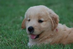 Watching and waiting to pounce!    Puppies - Tennessee Golden Retrievers - Prism Golden Retrievers _ Puppies