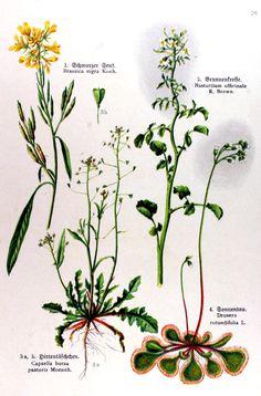 img/gravures anciennes de fleurs/gravure couleur ancienne de fleur - Brassica nigra; Nasturtium officinale; Capsella bursa-pastoris; Drosera rotundifolia.jpg