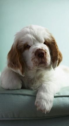 clumber spaniel baby ✿⊱╮
