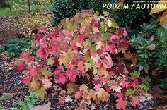 Hydrangea quercifolia - jesenné zafarbenie