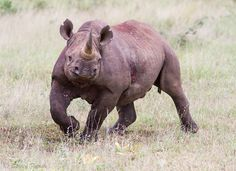 Black rhino - Wildlife Photographer Community Wildlife photographer Stacey Farrell shared a wonderful image of black Rhino on http://photos.wildfact.com, a website dedicated to wildlife photographers.  Click below link to view in full mode, join the community and follow wildlife photographers http://photos.wildfact.com/image/415/black-rhino  #Wildlife #WildlifePhotography #Photography