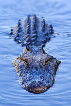 Beautiful Creatures, Animals Beautiful, Cute Animals, Crocodile Pictures, Alligator Tattoo, Crocodile Tattoo, Crocodile Illustration, Reptiles And Amphibians, Crocodiles
