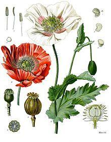 мак восточный строение цветка - Поиск в Google