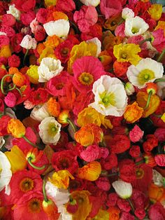 lovely bunch of flowers Flowers Nature, Colorful Flowers, Beautiful Flowers, Icelandic Poppies, Hibiscus Rosa Sinensis, Full Sun Perennials, Sandy Soil, Flower Names, Drought Tolerant Plants
