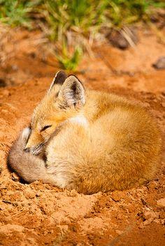 _MG_1592 - Sleeping red fox kit. ©Jerry Mercier | Flickr - Photo Sharing! So endearing!