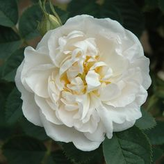 Alba Maxima (Alba) Before 1867. Also known as The Jacobite Rose, this variety goes all the way back to at least the 15th century. Double white blooms with tinted creamy centers and gay-green foliage. Makes a great choice for a traditional cottage garden. Very hardy. Grows up to 6 feet tall. Learn more at Classic Roses UK:  https://www.classicroses.co.uk/roses/alba-maxima-shrub-rose.html