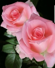 Know Your enemies that are among you. - My site Beautiful Rose Flowers, Romantic Roses, Love Rose, Flowers Nature, Amazing Flowers, Colorful Flowers, Rose Pictures, Flower Photos, Flower Petals