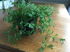 Selaginella Plant Or Clubmoss - http://www.gardenanswers.com/mosses/selaginella-plant-or-clubmoss/