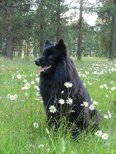Swedish Lapphund photo | Svensk lapphund | Höglandets kennel i Jokkmokk | Uppfödning för ...