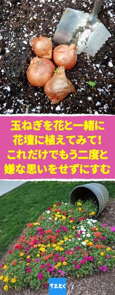 玉ねぎを花壇に植えるだけで害虫駆除ができる裏ワザ ★ #玉ねぎ #花壇 #植える #害虫 駆除 #花 #アブラムシ #裏ワザ ★ 料理の後、玉ねぎの皮を待ち受けるのは大抵の場合、捨てられるだけの運命です。でも実は、玉ねぎの皮には植物に付く害虫を駆除する効能があるんです。 Foliage Plants, Medicinal Plants, Lawn And Garden, Good To Know, Planting Flowers, Flower Arrangements, Succulents, Pumpkin, Hacks