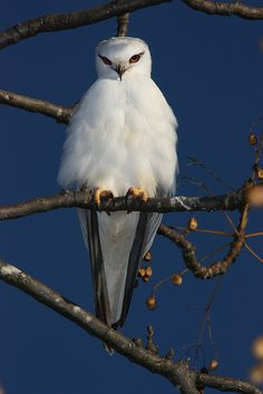 Black-shouldered Kite (Elanus axillaris), Richmond Lowlands, NSW.