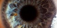 Image of the Day The iris of a human eye has two layers of fibers, radial fibers that pry the pupil open and sphincter fibers that snap it shut. By The Scientist Staff   November 13, 2012