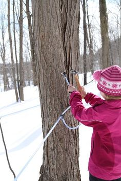 The step by step process of how we tap maple trees to make maple syrup.