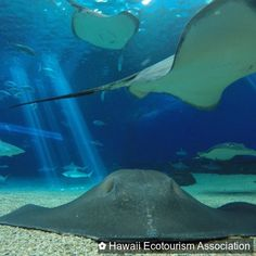 Much mahalo today to our lovely, fabulous sponsor, @mauioceancenter! Thank you so much for your support of Hawaii Ecotourism Association dream of raising Hawaii's standards for sustainable tourism! #hawaii #ocean #maui #travel  #travelpono #reefs        #stingray  #ocean  #maui  #education  #learning  #wildlife  #travelpono  #mahalo  #thankyou  #Hawaii