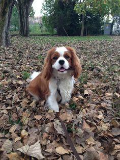 Cavalier King Charles Spaniel (Blenheim) - Paco e l'autunno