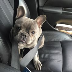 All buckled up for our adventure!  #baloo #frenchie #puppy #frenchbulldog #puppy #bluefrenchie #bluefrenchbulldog #puppylove #socute #adventuresofbaloo #datface #doglovers #dog #cute #adorable #precious #dogsofinstagram #instagramdogs #cutie #doggy #dogoftheday