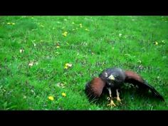 ▶ Falconry: The Sport of Kings - YouTube