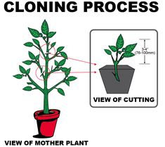Beginner's Guide to Cloning Plants