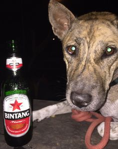 "bali-arrangements on Twitter: ""Bali dogs & Bintang beer . Two different highlights  to remember your Balinese vacation https://t.co/J4QXygp1dQ"""