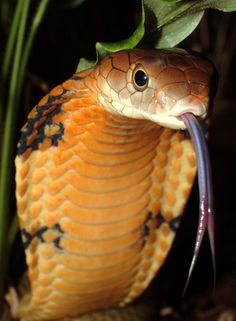 The King Cobra (Ophiophagus Hannah), listed as vulnerable due to loss of habitat and over exploitation for medicinal purposes, is the world's largest venomous snake.