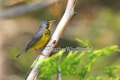 Canada Warbler  Summer Bird Photography  by FeatherWindStudio