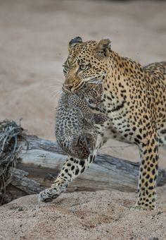 A Long Wait   Londolozi Blog