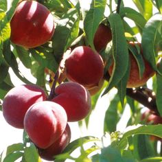 apricot tree peach tree and nectarines tree growing guide suttons gardening grow how