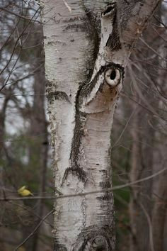 The sleep with 1 👁 open tree! Tree Name-Exhaulted Construct Tree🌲 Weird Trees, Spooky Trees, Enchanted Tree, Tree People, Tree Faces, Tree Carving, Unique Trees, Tree Trunks, Nature Tree