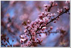 Cherry Blossoms!!! Love them!!