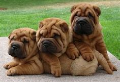 Supercute Shar-Pei Puppies to hug : MartaBarcelonaStyle's Blog