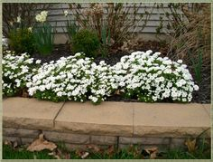 Candytuft: an evergreen perennial with a mass of white flowers  every Spring!