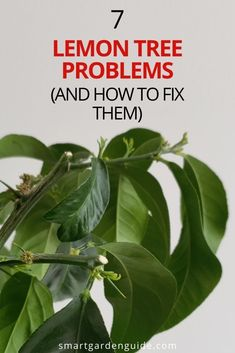 How to work out what is going wrong with your lemon tree. Lemon trees can be tricky to keep happy, particularly when growing them indoors. These essential tips will help you keep your lemon tree happy and growing strongly. Growing Lemon Trees, Growing Tree, Indoor Flowering Plants, Blooming Plants, Indoor Gardening, Gardening Tips, Lemon Tree From Seed, How To Grow Lemon, Smart Garden