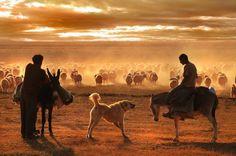 Kangal dog's
