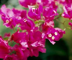 "Bougainvillea - Plant Encyclopedia - BHG.com ""Barbara Karst"" ZONES 9-11 (used as annual in cold zones)"