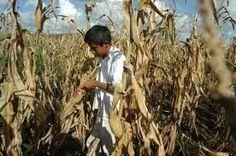 Determinará el Poder Judicial si procede el cultivo de maíz transgénico en México