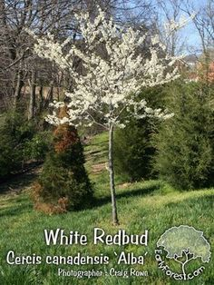 white red bud tree - Google Search