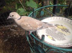 Bath time. Ringneck Dove.