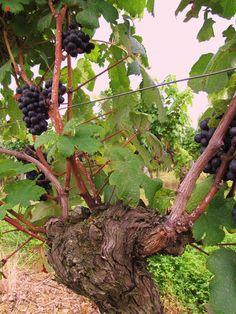 Au pied de la vigne.