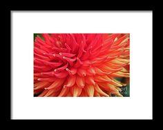 dahlia, macro, orange, flower, bloom, blossom, nature, garden, michiale, schneider, photography