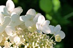 #Weiße #Hortensie #white #hydrangea brings the #summer into your #rooms