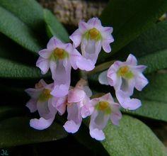 Orchid: Schoenorchis seidenfadenii