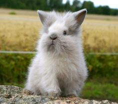 lionhead! Reminds me of sir albert ....going to make me cry.....