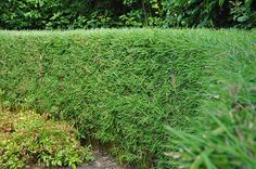 bamboo hedgem Hedging Manchester Garden Centre Hedge Laurel Hedge Conifer Cheshire