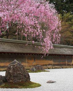 龍安寺 - 石庭と枝垂れ桜 / Ryoanji Cherry Blossoms