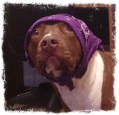 Milo. #pitbull #dogparkpublishing www.dogparkpublishing.com www.facebook.com/ittypitties